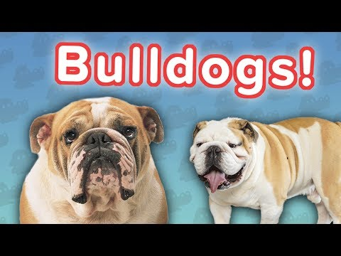 Bulldogs Are Awesome! // Funny Animal Compilation