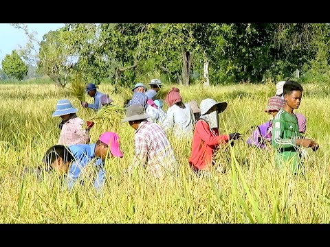 Travel at Samrong Oddar Meanchey Province - Traditional Harvest in Cambodia