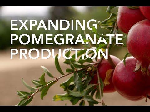Expanding Pomegranate Production
