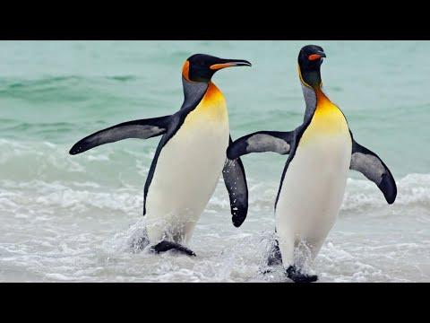 Download Top 50 curiozitati despre PINGUINI