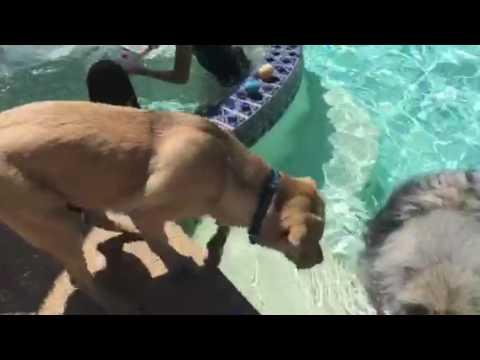 Keeshond Demonstrates The Dog Paddle