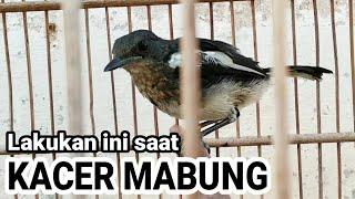 Cara Merawat KACER saat MABUNG !!