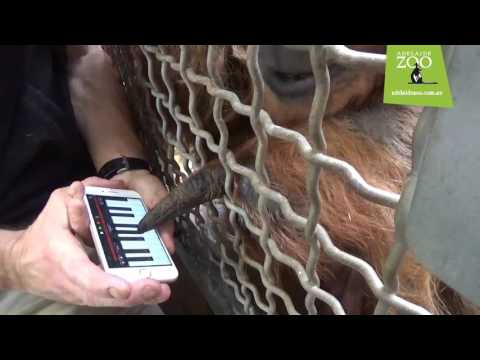 Adelaide Zoo's Sumatran Orangutan releases debut single