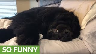 Sleepy Newfoundland refuses to get out of bed