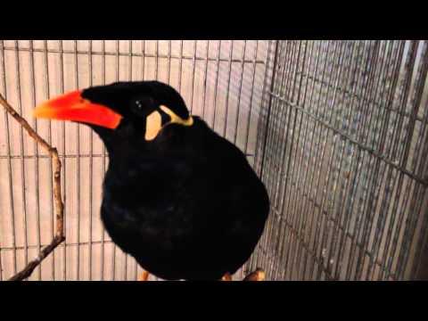 Amazing Talking Indian Hill Mynah Bird - Can Say Kazi Bhai, Mynah, and more