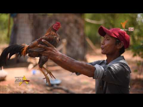 Spirit of Asia :  Thai vs. Myanmar fighting cock. legendary