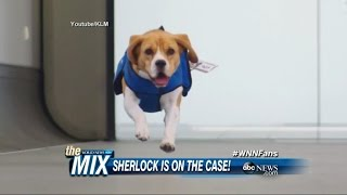 Sherlock The Beagle