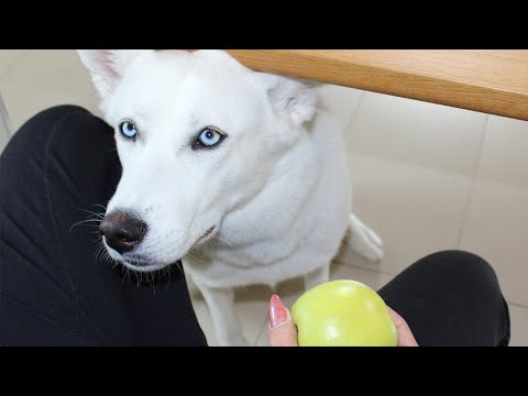 What Does My Dog Do When I Eat An Apple? - My Dog Steals Apple!
