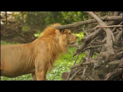 Lion spotting in Africa - Nigeria