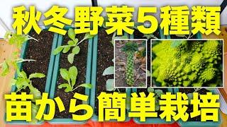 秋冬野菜5種類の苗を植え付ける方法!苗からなら初心者でも簡単【ロマネスコ,白菜,キャベツ,芽キャベツ,チマサンチュ】