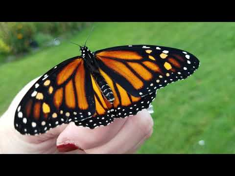 Female Monarch Butterfly preparing for flight 09-12-2017