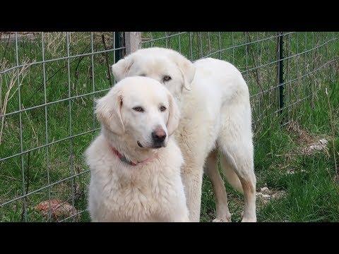 Fencing for Livestock Guardian Dog