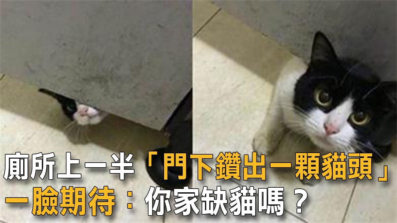 廁所上一半「門下鑽出一顆貓頭」一臉期待:你家缺貓嗎? 貓咪故事 貓上廁所