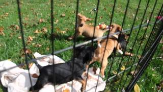 Rescue Pups - Beagle Doxie Corgi Lab Mix?  Available To Adopt.