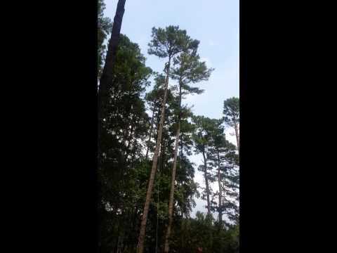 TreeHuggers 110' pine tree