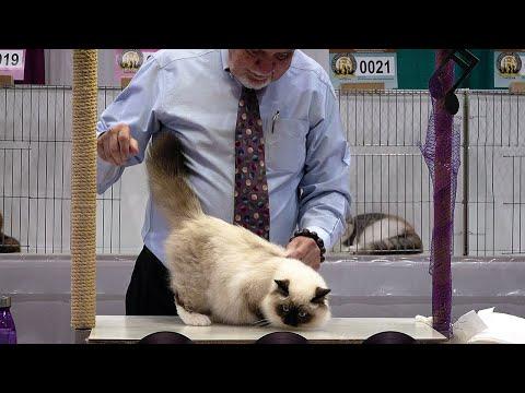 CFA International Show 2019 - Longhair Kitten Class Judging - Birmans