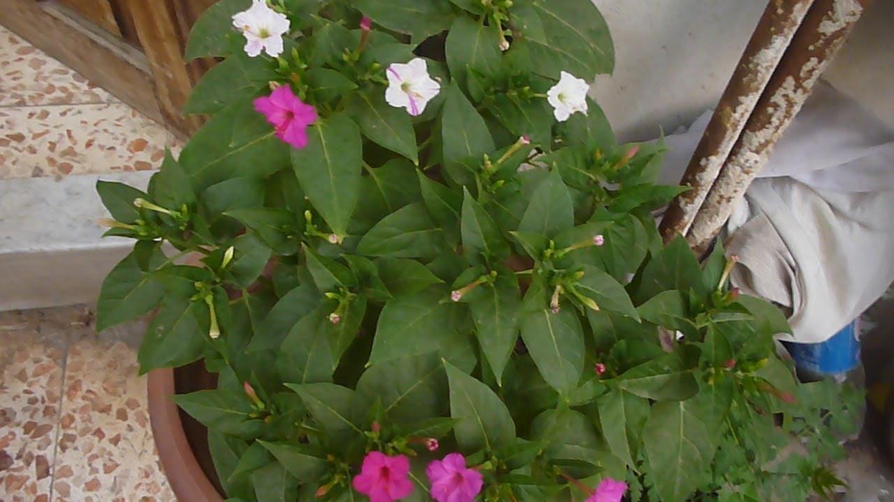 زراعة نبات شب الظريف شب الليل نبات الساعة اربعة والعناية به Mirabilis Jalapa Youtube Plants Farm