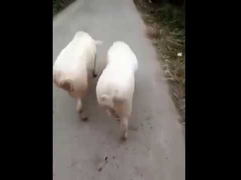Try not to laugh - Sexy Pig Walk