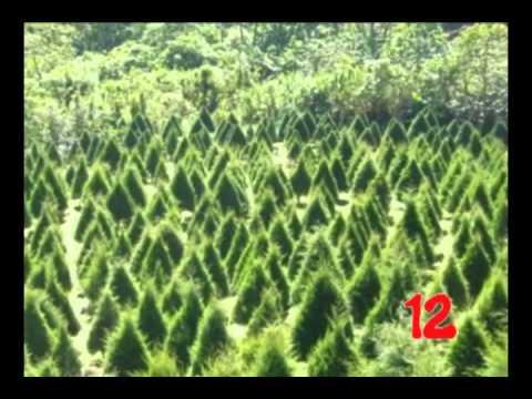 cuechando arboles de navidad naturales