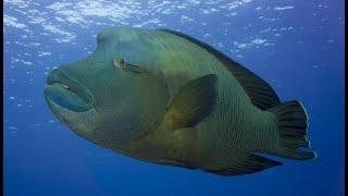 Египет Красное море Подводный мир  Hilton Sharks Bay Resort 4 / Рыба Наполеон