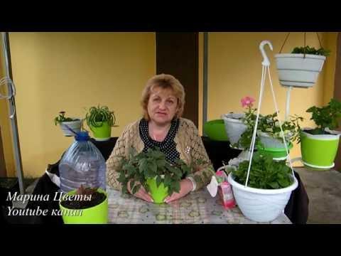 ФУКСИЯ ЛЕТОМ - выращивание, уход, посадка, полив, размножение