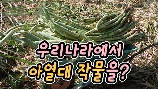 우리나라에서 사탕수수를 재배한다? / YTN 사이언스