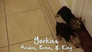Puppies For Sale - Archie / Ernie / King - Yorkies