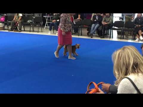 Euro Dog Show 2018 Lakeland Terrier