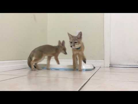 Brave Baby Kit Foxes Meeting the Klee Kai