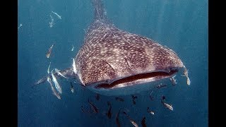 Whale sharks surprise scuba divers in Lankayan waters