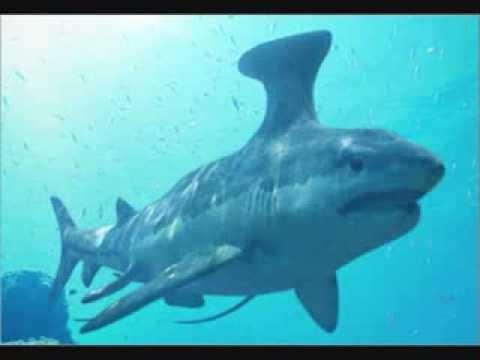 Prehistoric Sharks: Stethacanthus - YouTube