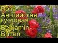 Роза английская кустовая Бенджамин Бриттен. Краткий обзор, описание характеристик