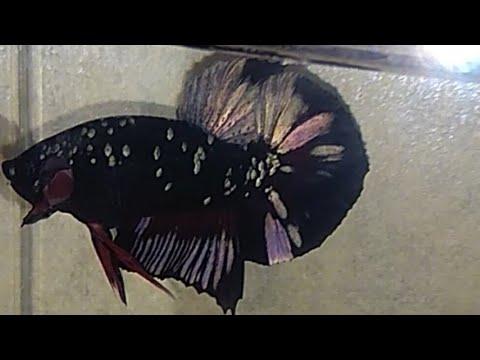 ikan cupang Avatar gold - YouTube
