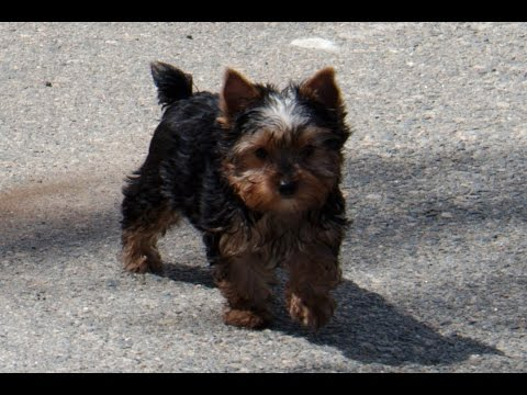 Fauna Maxima And Akc Yorkie Male Puppy Three Months Old At Play