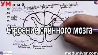 Строение спинного мозга - meduniver.com