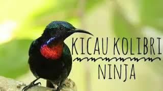 Masteran Kolibri Gacor Isian Cililin Kenari