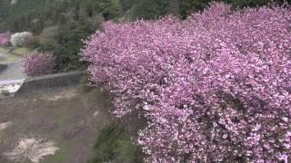 ラジヘリ低空撮影ビデオ 45 「 八重桜 」 南濃町 羽根谷だんだん公園 Aerial Video