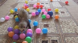 Хорек играет дома!!! Хорек играет видео!!! Хорек играет!!!  Хорек бесится!!! Ferrets playing!!!