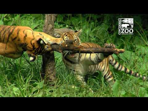 Tiger Cubs are One Year Old - Cincinnati Zoo