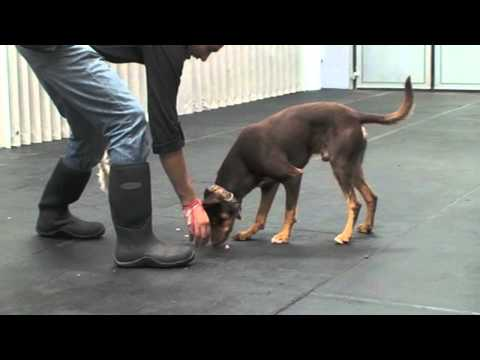 Teaching Your Dog to 'Drop'