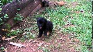 Puppies Playing Toy Poodle Cross Shih Tzu Shmoodle Shoodle 5 Weeks Old