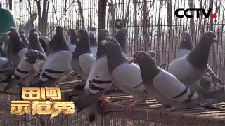 《田间示范秀》鸽棚里的养殖秘诀 20200417 | CCTV农业