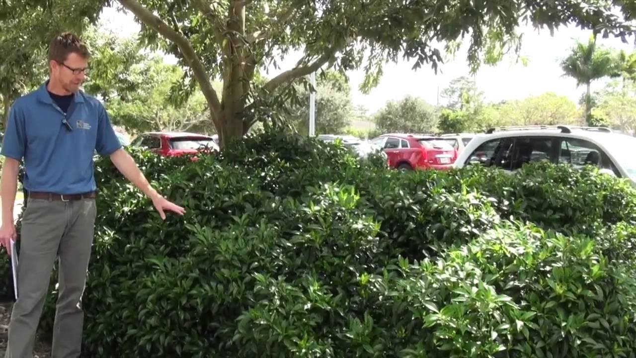 Overlooked Native Shrubs for South Florida Landscapes - Overlooked Native Shrubs For South Florida Landscapes - YouTube