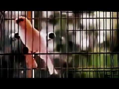 Download Lagu Olah TKP  Suara Merdu Burung Kenari F1 YORKSHIRE