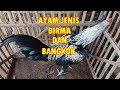 Ayam Jenis Birma Dan Jenis Bangkok  Mp3 - Mp4 Download