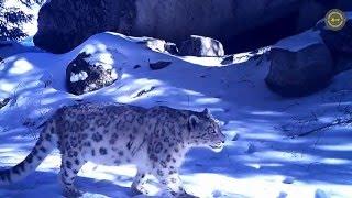 Снежного барса сняли в 10 км от Алматы