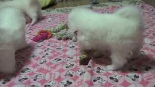2013年7月17日に産まれたシェリーの赤ちゃん達の成長記録です。犬の成長...