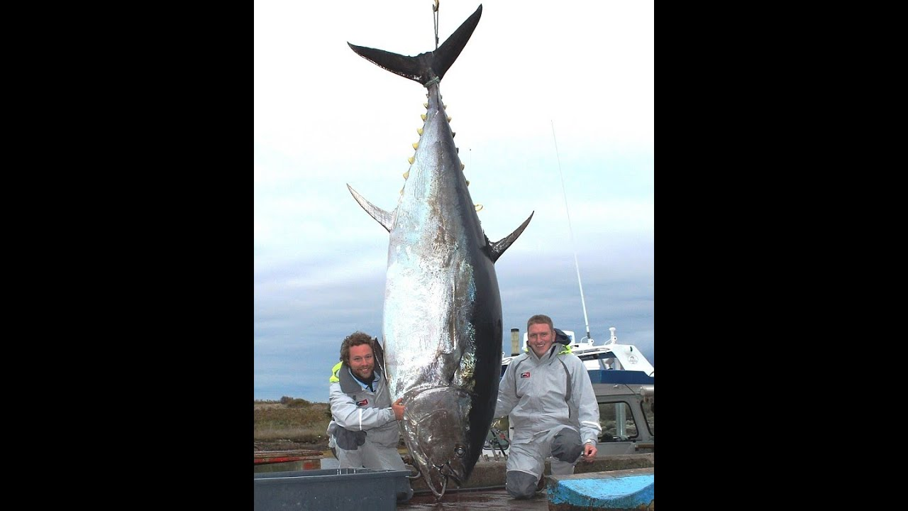 New zealand anglers find 22kg fish inside belly of for Tuna fishing videos