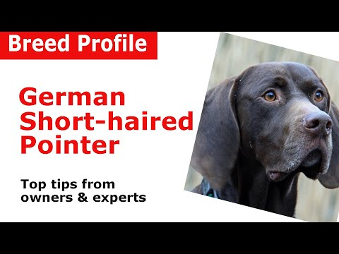 German Shorthaired Pointer Breed Guide
