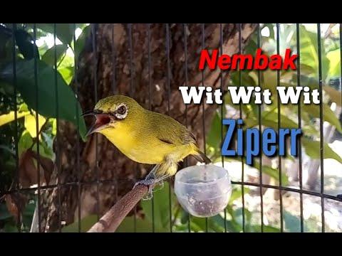 Download Pleci Gacor Ful Nembak Wit Wit Ziperr Untuk Melatih Plecih Bahan